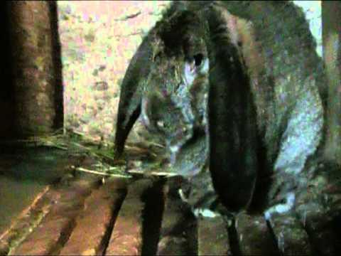 Самые крупные кролики местных пород в Армении (093679487)