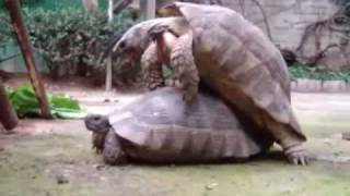 The Incredible Turtle Sex