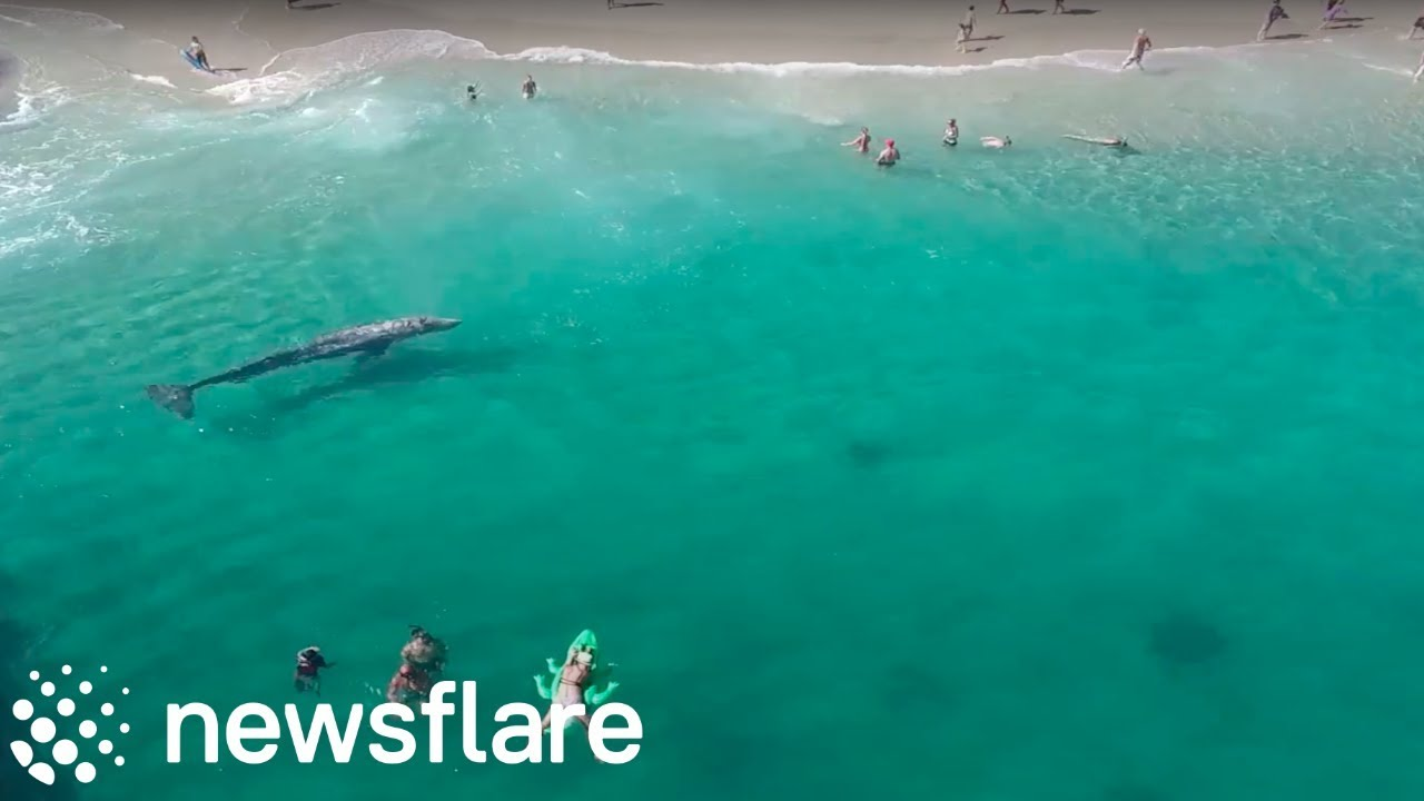Funny Video: Drone Captures Footage of a Lost Whale At Laguna Beach