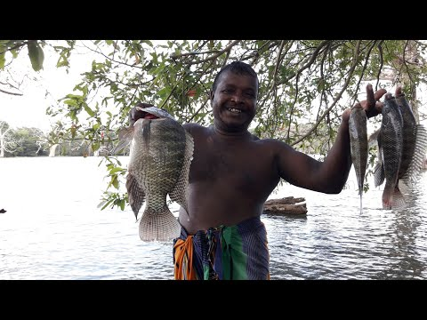Sri Lankan Fishing Video  🇱🇰 | Village  Fishing  | Catching Big Tilapia | Traditional Fishing Video