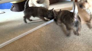 Cairn Terrier Puppy Whiskey Plays With Mirror