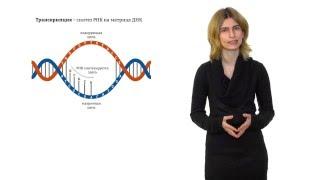 Строение нуклеиновых кислот. Решение генетических задач - 1
