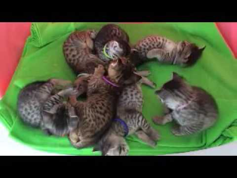Ocicat Kittens Snoozing