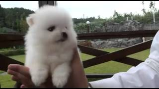 Teacup Pomeranian Teacup Puppy Cute Precious Puppy Bowpup Cute Like Pomeranian Boo