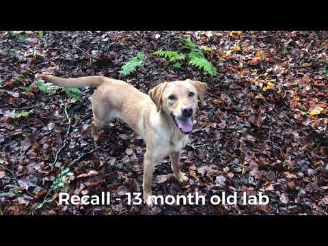 training-my-labrador-retriever-dog.-whistle-recall-and-environmental-agility.-jamie-penrith
