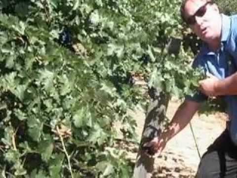 Grape vine irrigation issues