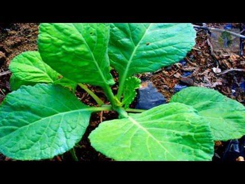Trồng bắp cải trong vườn nho nhỏ tại nhà