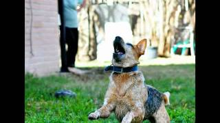 Harley - Texas Cattle Dog Rescue