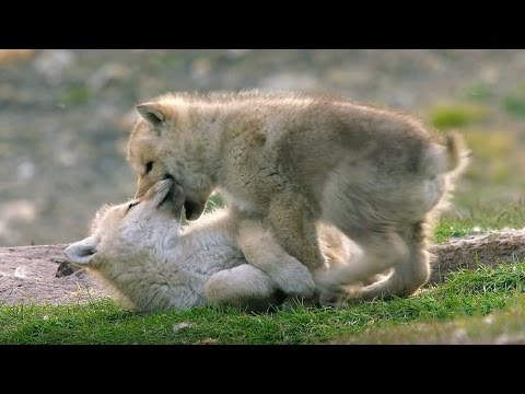 Babysitting Cute Wolf Pups - Snow Wolf Family And Me - BBC