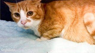 INTAKE: Surprise pregnant feral cat Ramona meets Chloe - TinyKittens.com thumbnail