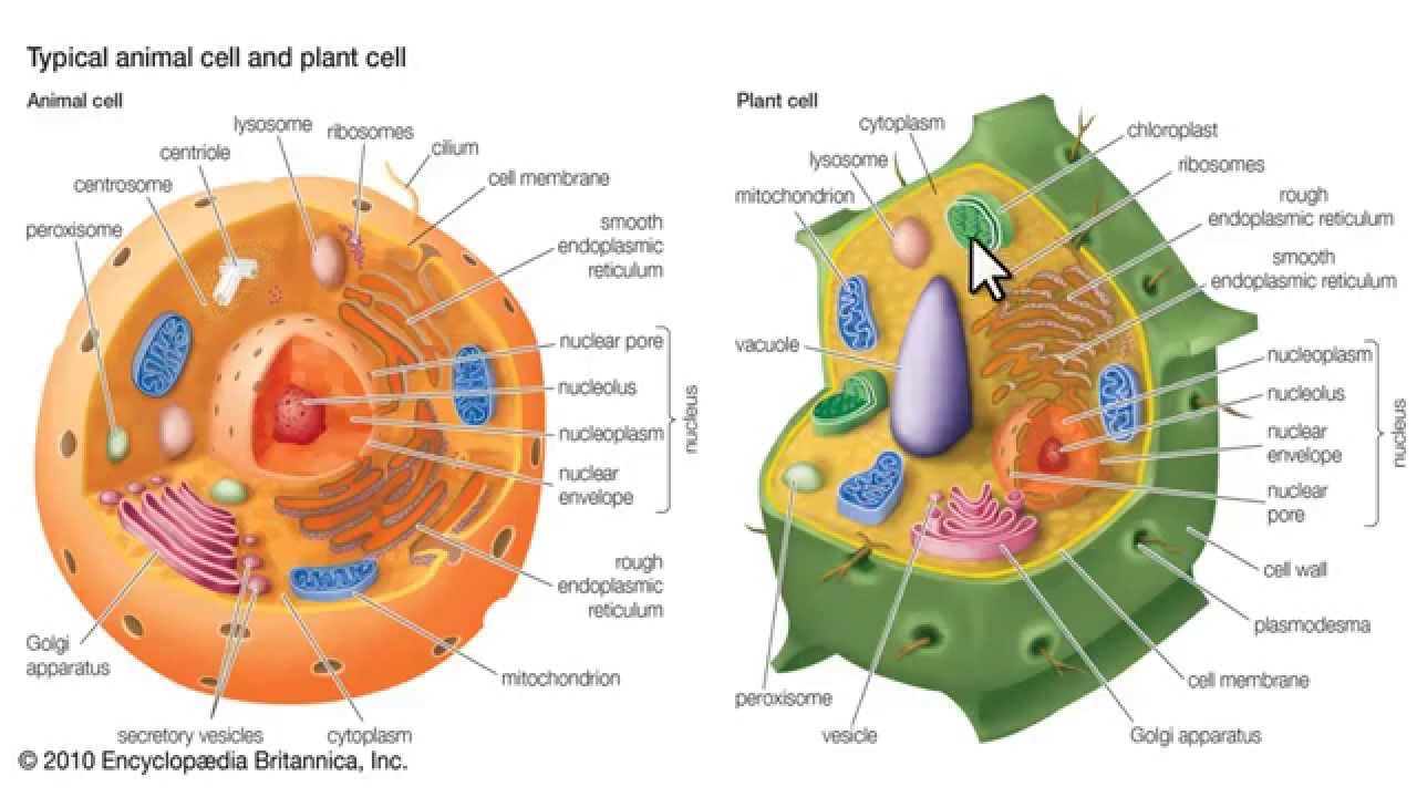 Organuli cellulari struttura e funzione. - YouTube