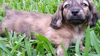 Royalworth's Dancing Follow, An English Cream Brindle Longhaired, Miniature Dachshund Male Puppy