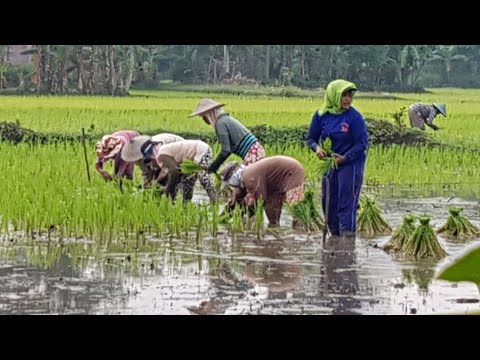 Nandur pari neng ndeso - Menanam padi cara tradisional di desa Sedarat, Balong, Ponorogo, Jawatimur