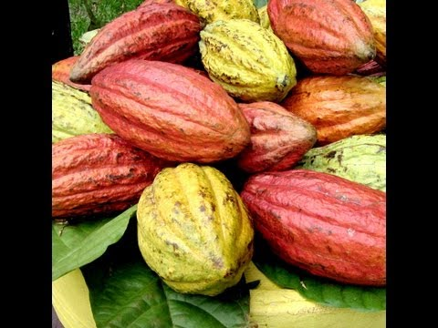 How to Harvest Cocoa