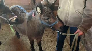 Using systematic desensitization to help a mini mule get comfortable with being touched