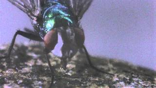 Fly cleaning and eating in slow motion