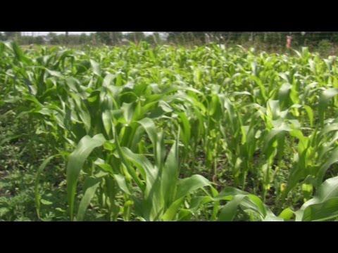 Кукуруза (маис) - описание, применение, лечебные свойства