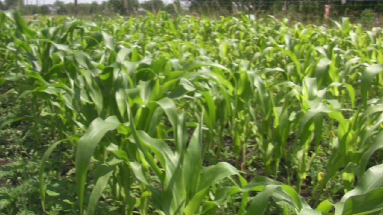 """Как вырастить кукурузу. Сахарная сорт """"брусничка"""""""