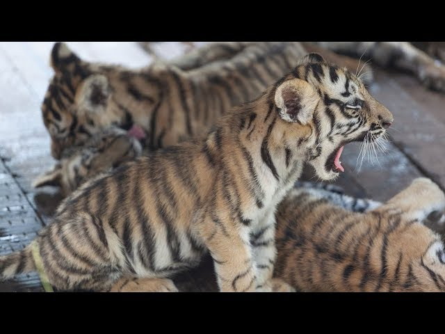 China strives to protect endangered Siberian tigers