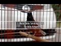 Suara Burung Aksi Murai Batu Seruling Sakti Milik Mr Billy Kebumen Di Piala Arumbinang  Mp3 - Mp4 Download