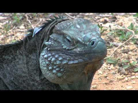 Cayman Islands: Green Iguanas vs. Blue Iguanas