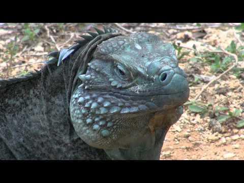 Blue Iguana For Sale : Blue iguana wikipedia