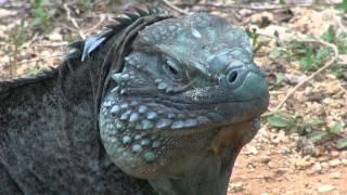 Cayman Islands: Green Iguanas vs. Blue Iguanas