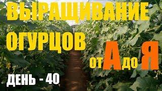 Выращивание огурцов (2й оборот) День 40