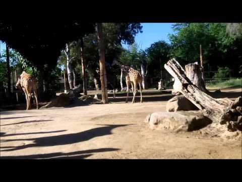 CART Giraffe Enrichment 2015 AM