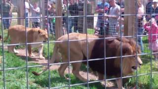 Download Video Lion Fight at DeYoung Zoo MP3 3GP MP4