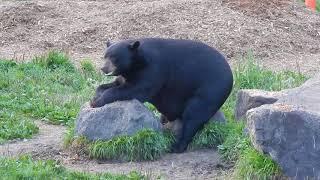Feeding Black Bears II - Vince Shute Wildlife Sanctuary - Superior National Forest - Orr MN