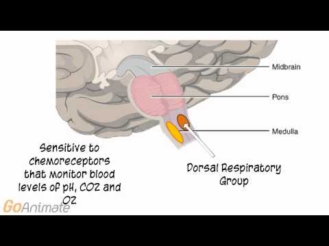 Anatomy and Physiology of the Respiratory System: Neural Control of Breathing
