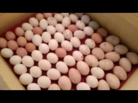 Инкубация яиц, комбинированная закладка, куриные, утиные, индюшиные.