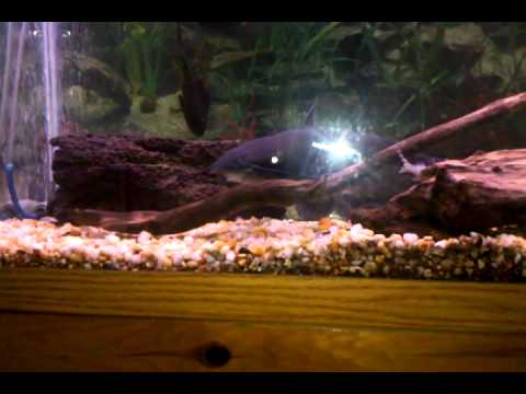 Pet Flathead, Blue, and Channel Catfish from YouTube · High Definition · Duration:  3 minutes 17 seconds  · 4,000+ views · uploaded on 7/13/2014 · uploaded by FV-Catfish.com