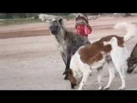 Hyenas Like Dogs