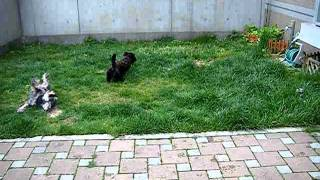 Scottish Terrier & miniature Schnauzer  Foot Race
