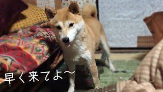 追いかけてほしいアピールが可愛いすぎる柴犬 Cute dog wants to play tag