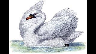 """"""" Белый Лебедь """""""