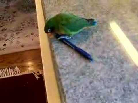 Buddy the Lovebird and a Pen