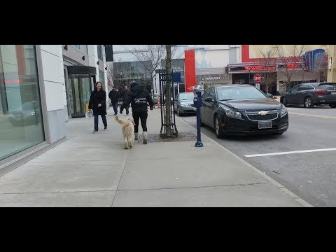 Best Dog Training in Columbus, Ohio! 6 Month Old Goldendoodle, Leo!