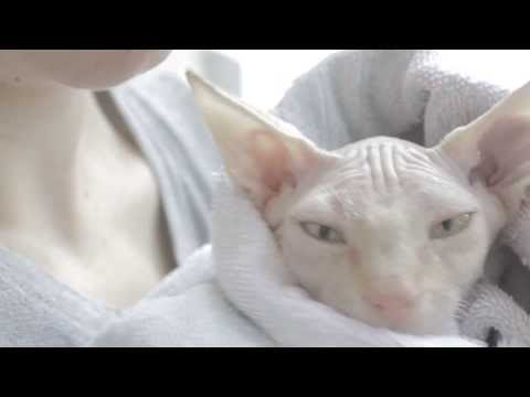 Douglas the sphynx cat takes his first bath