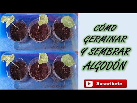 germinar y sembrar semillas de algodón || organic crops