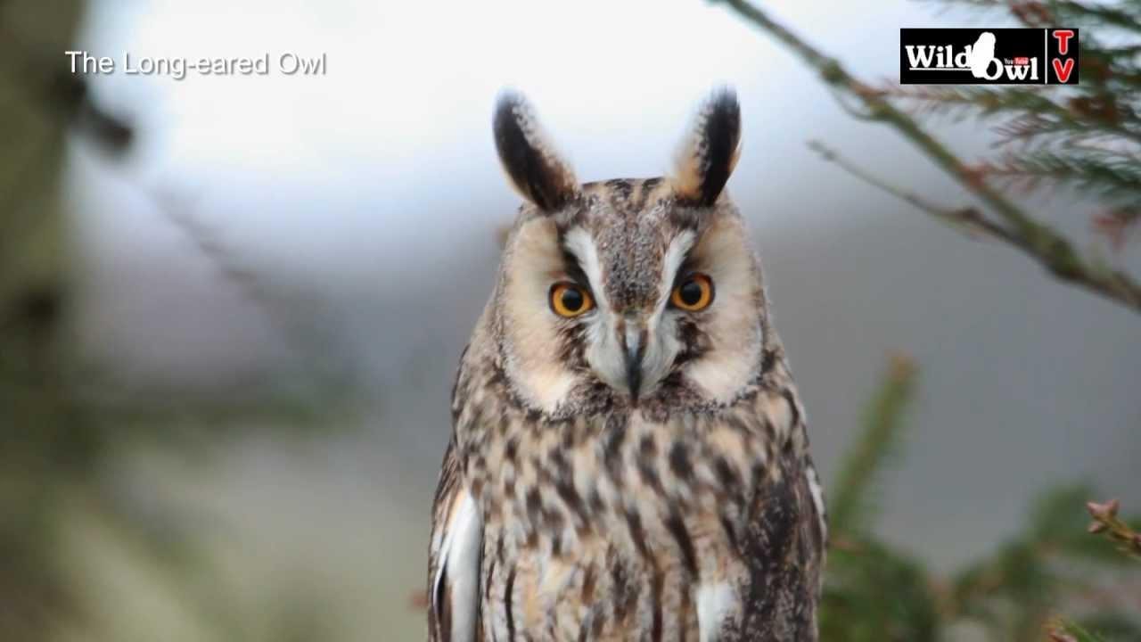 an introduction to the long eared owl asio otus by wild owl youtube