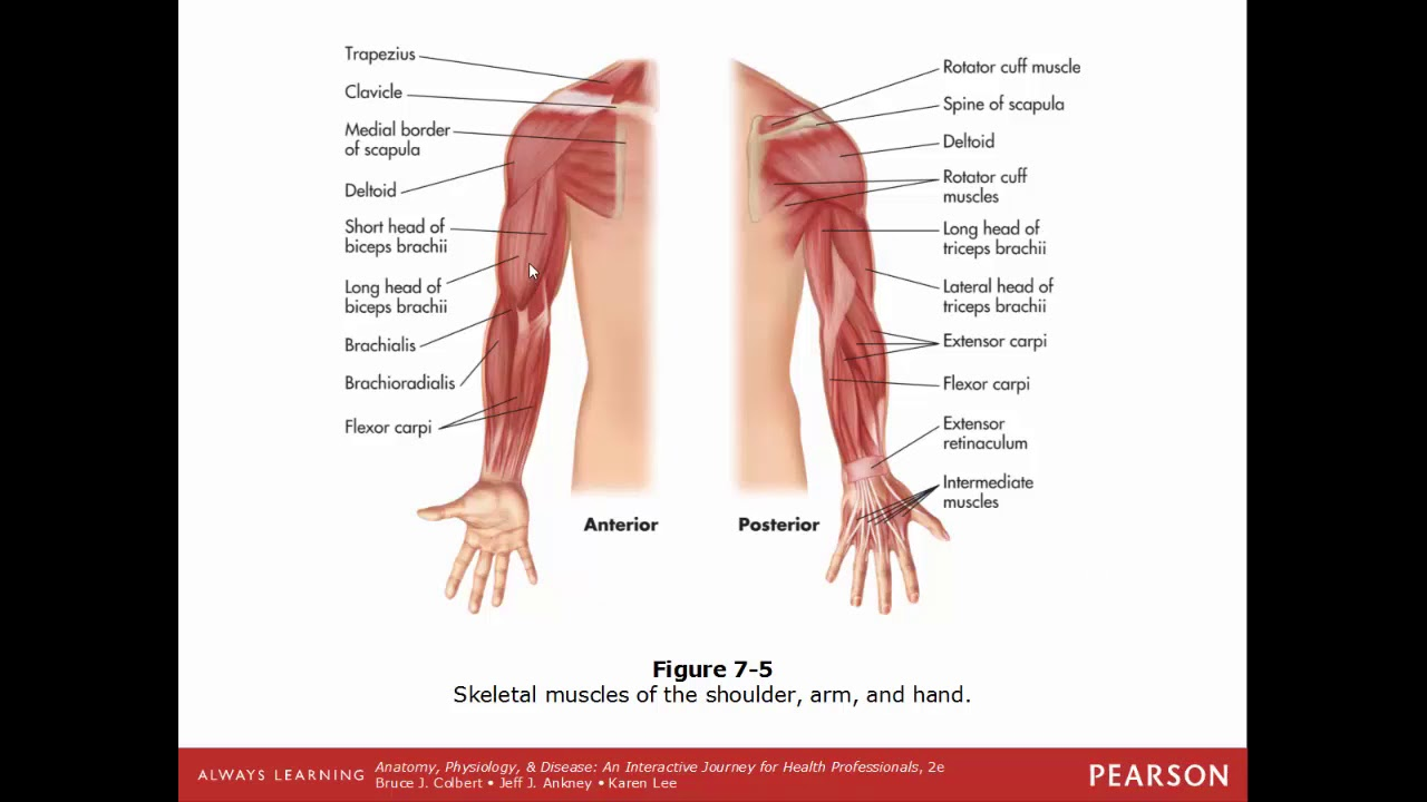 SCI 201 Anatomy & Physiology Crash Course ch7 - YouTube