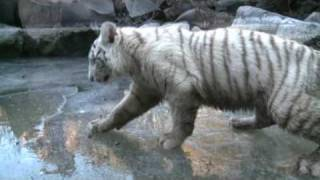 Tiger Cubs Playing on Frozen River at Tiger Canyons