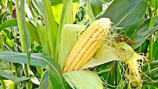 Выращивание кукурузы(, 2016-02-08T12:17:48.000Z)
