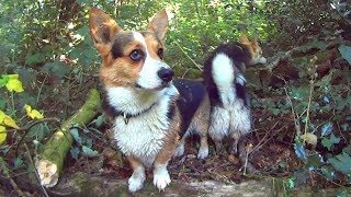 JUNGLE CORGIS - Sony Action Cam HDR-AS10 Outdoors In Shade Video Test