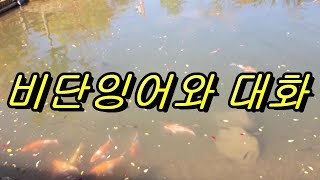 내가 자주가는 공원 연못속 비단잉어들, 자연의 활기찬 …