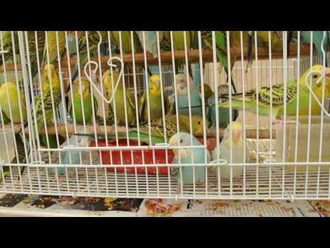 Gentleman Gipsy - Souq di Doha, uccellini colorati - Qatar