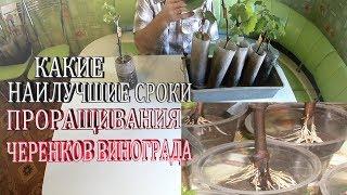 Какие наилучшие сроки проращивания черенков винограда.Лучшие условия проращивания черенков винограда